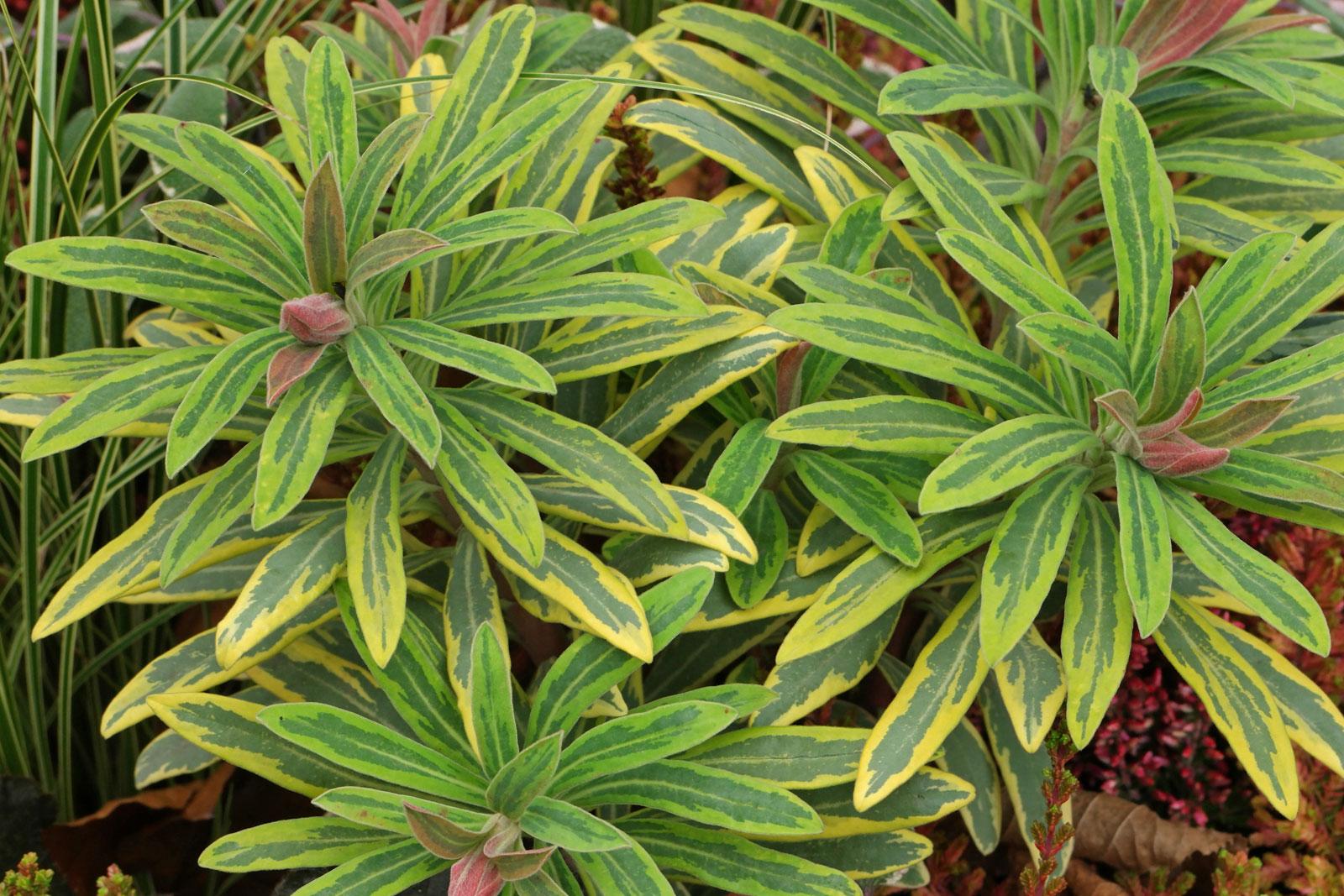 Euphorbia × martini Ascot Rainbow