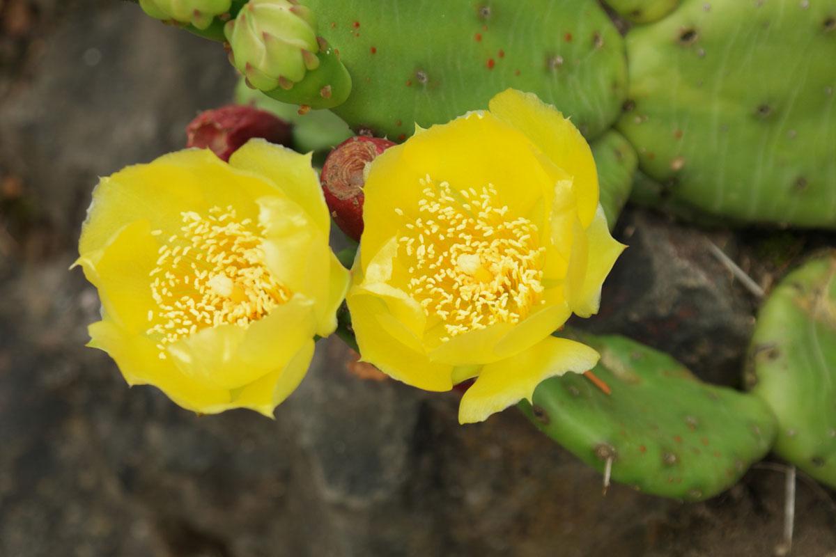 Feigen-Kaktus