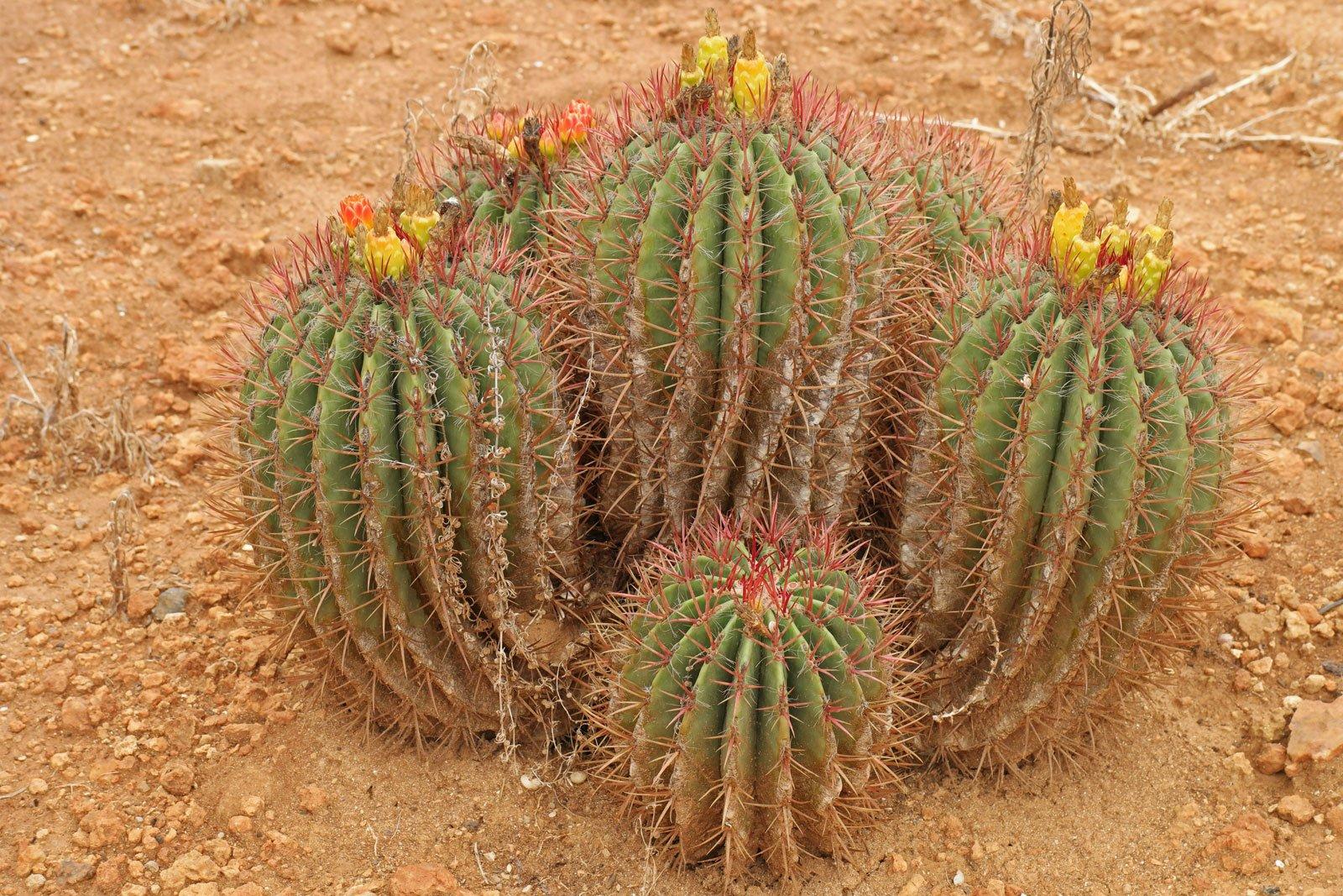 Ferocactus pilosus