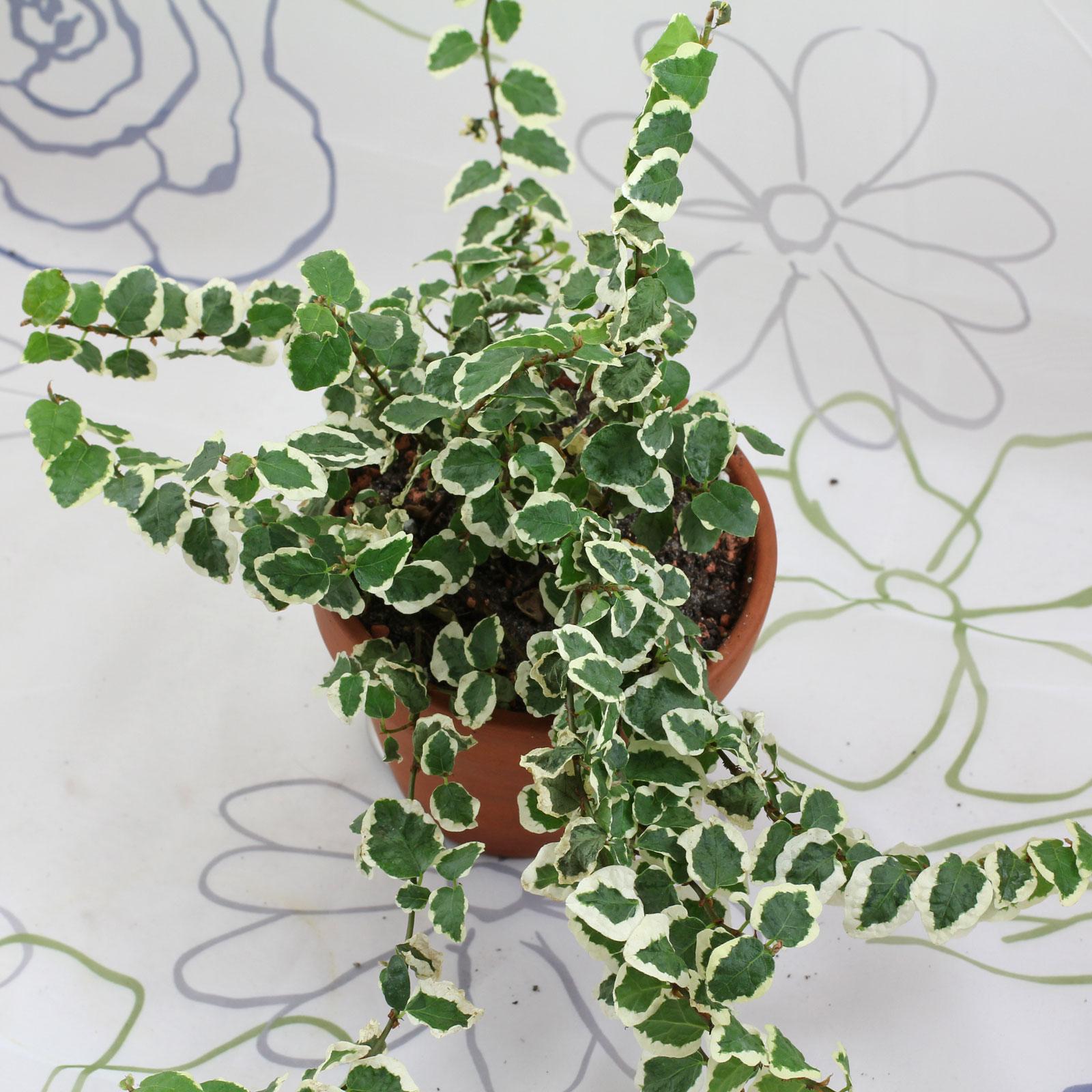 Ficus pumila Variegata