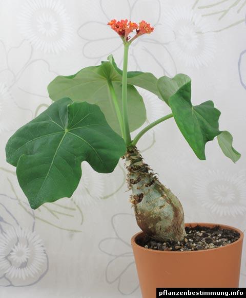 Flaschenpflanze