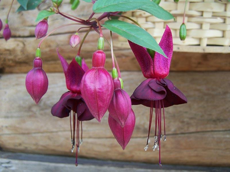 Fuchsie-Blüten