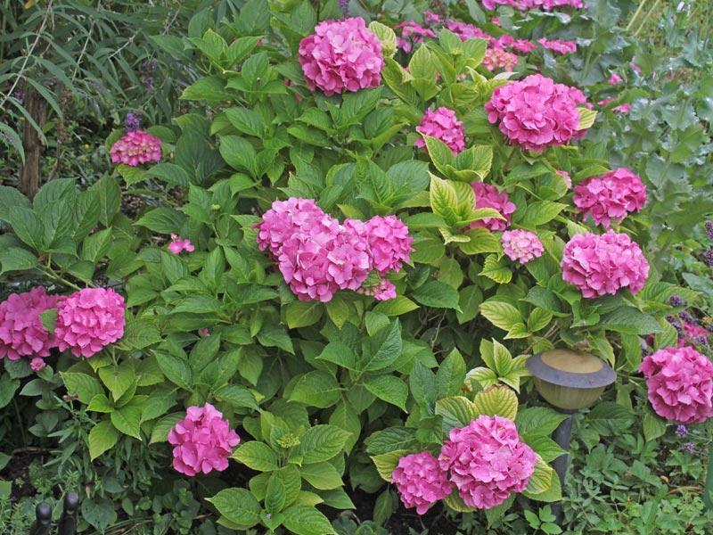 Garten-Hortensie