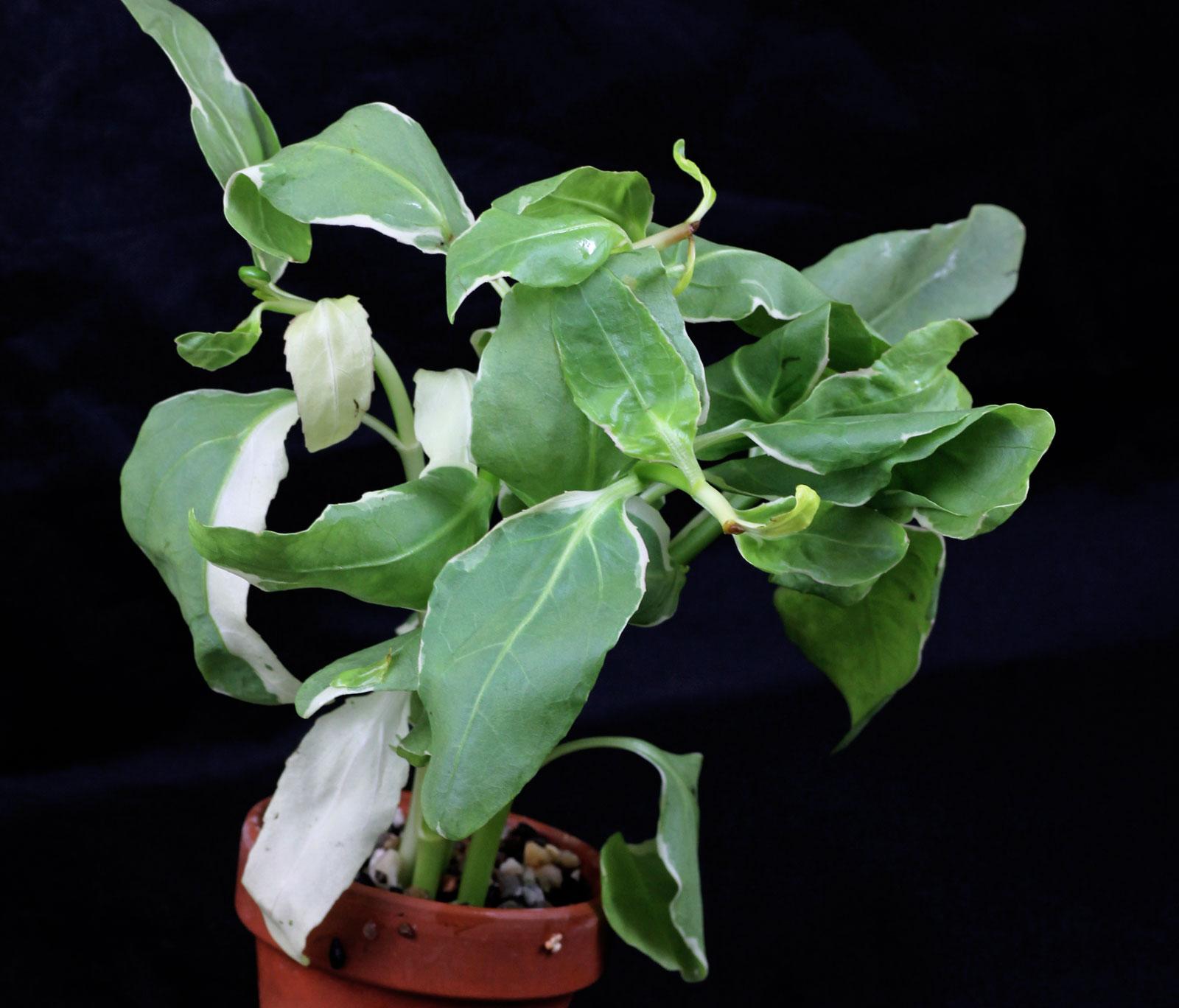 Gymnocoronis spilanthoides Variegatus