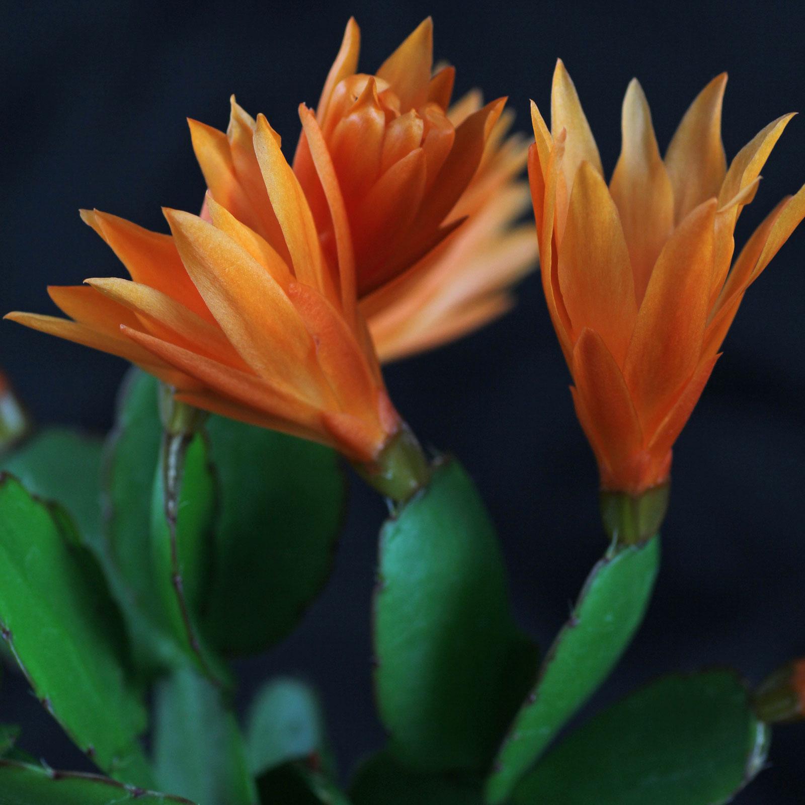 Hatiora × graeseri