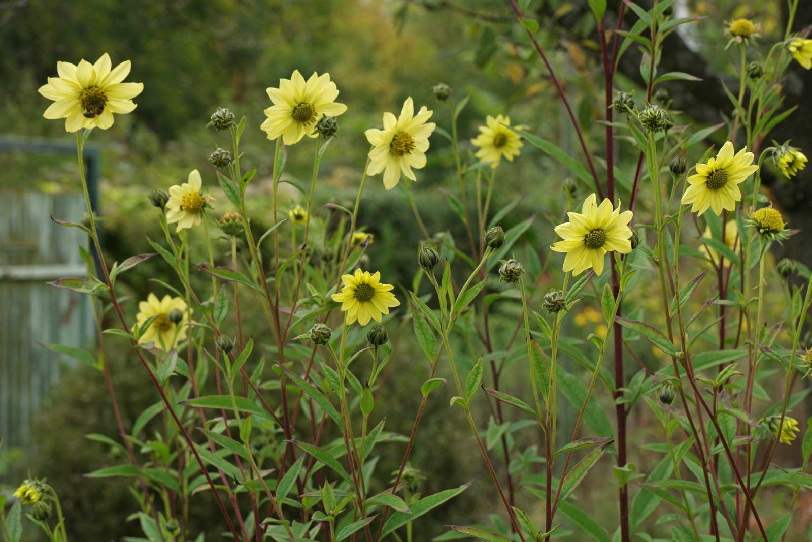 Helianthus giganteus Sheilas Sunshine