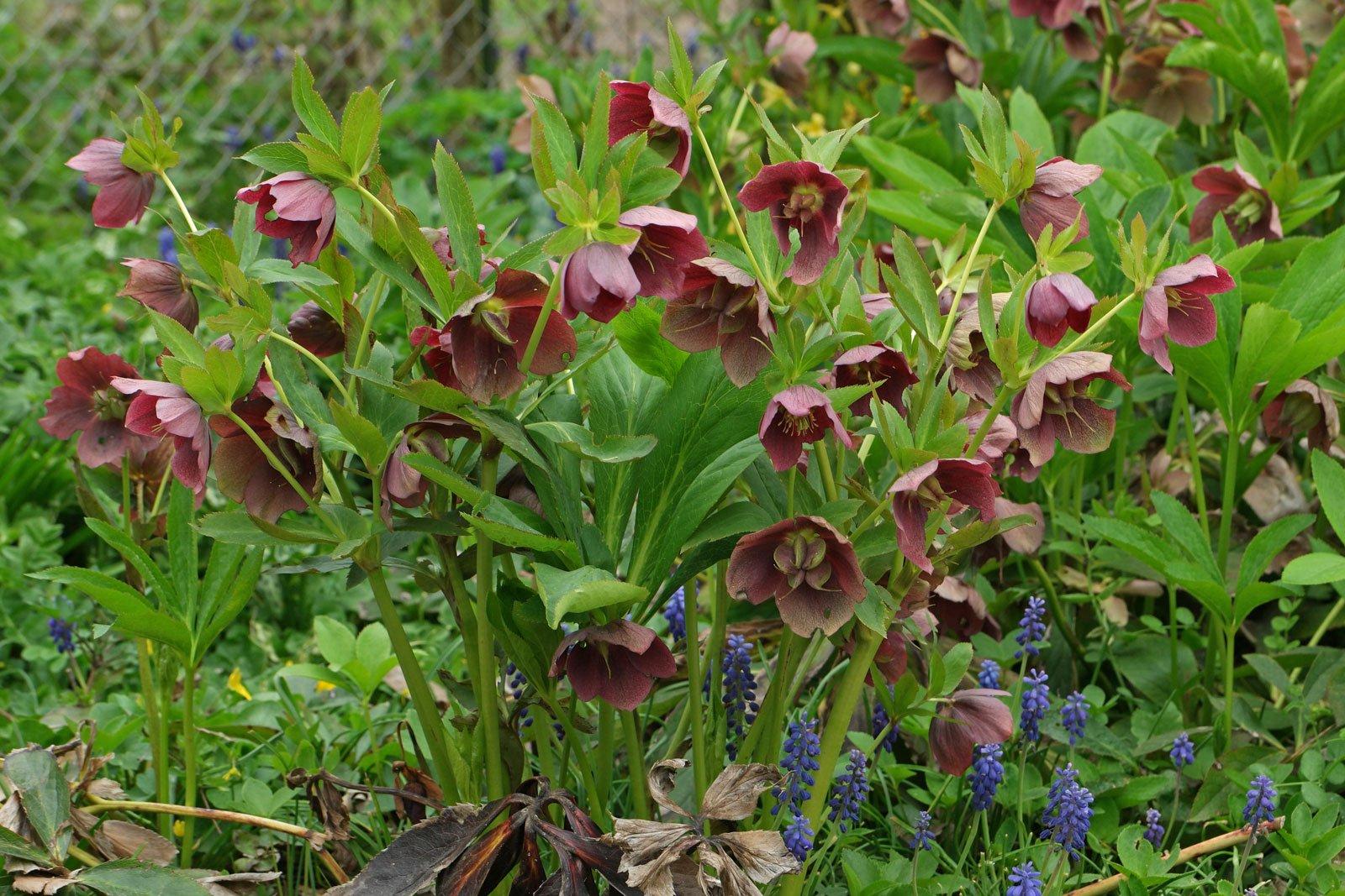 Helleborus orientalis cv.