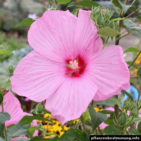 Hibiscus sp.