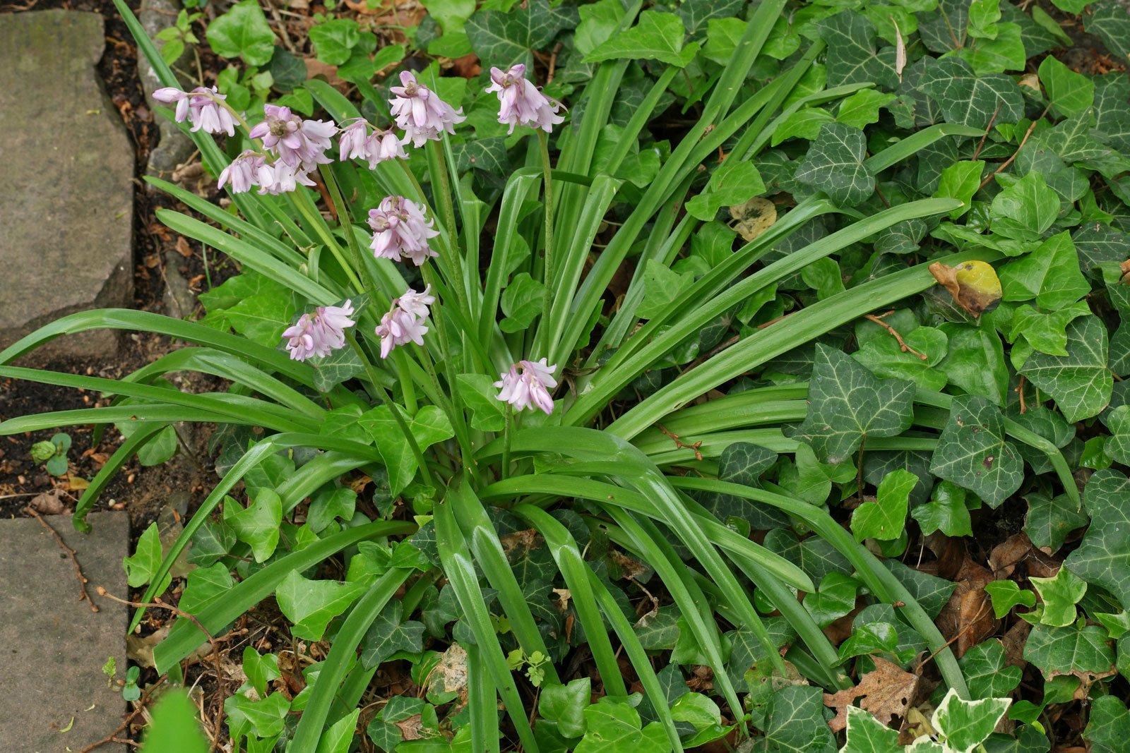 Hyacinthoides hispanica cv.