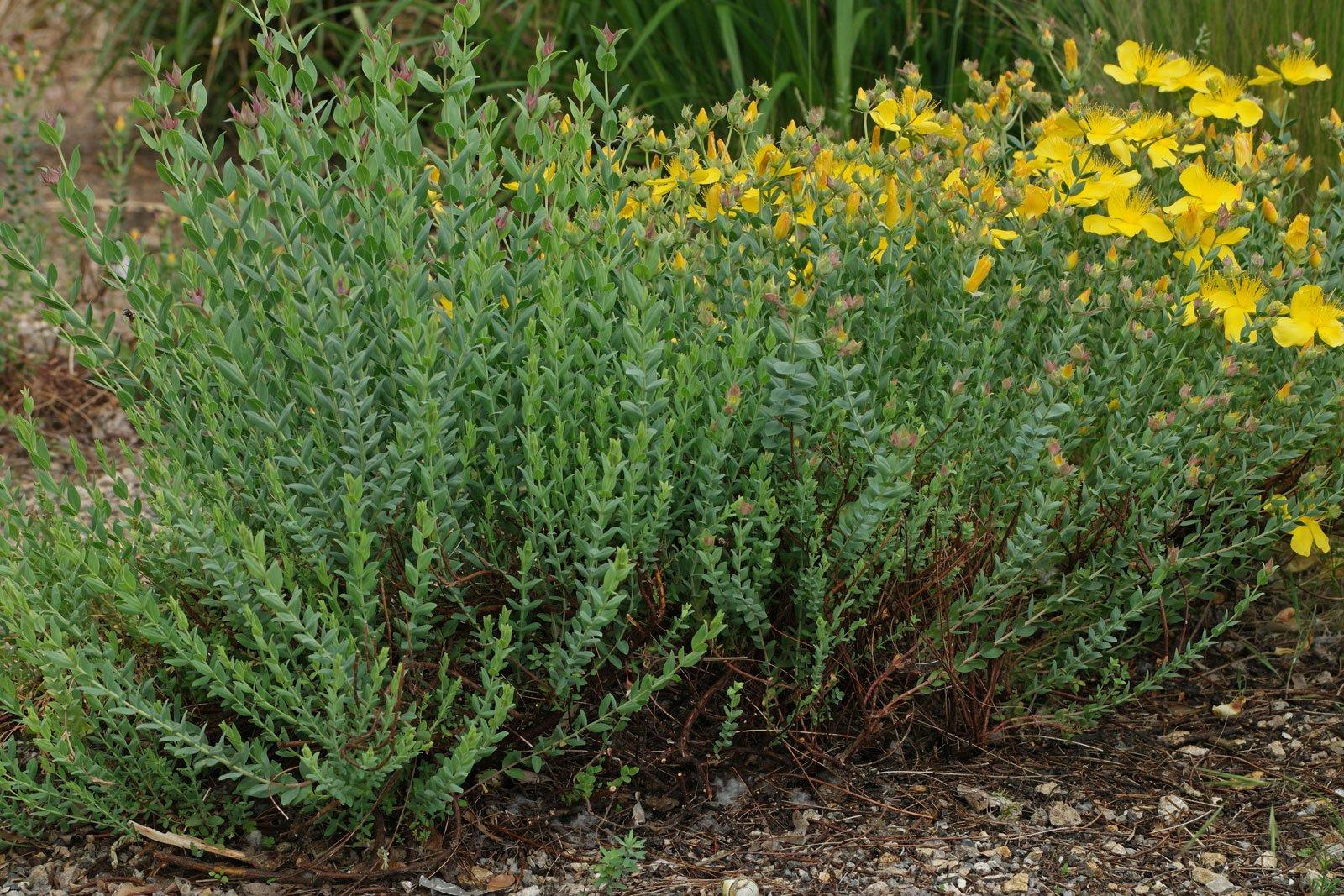 Hypericum polyphyllum Grandiflorum