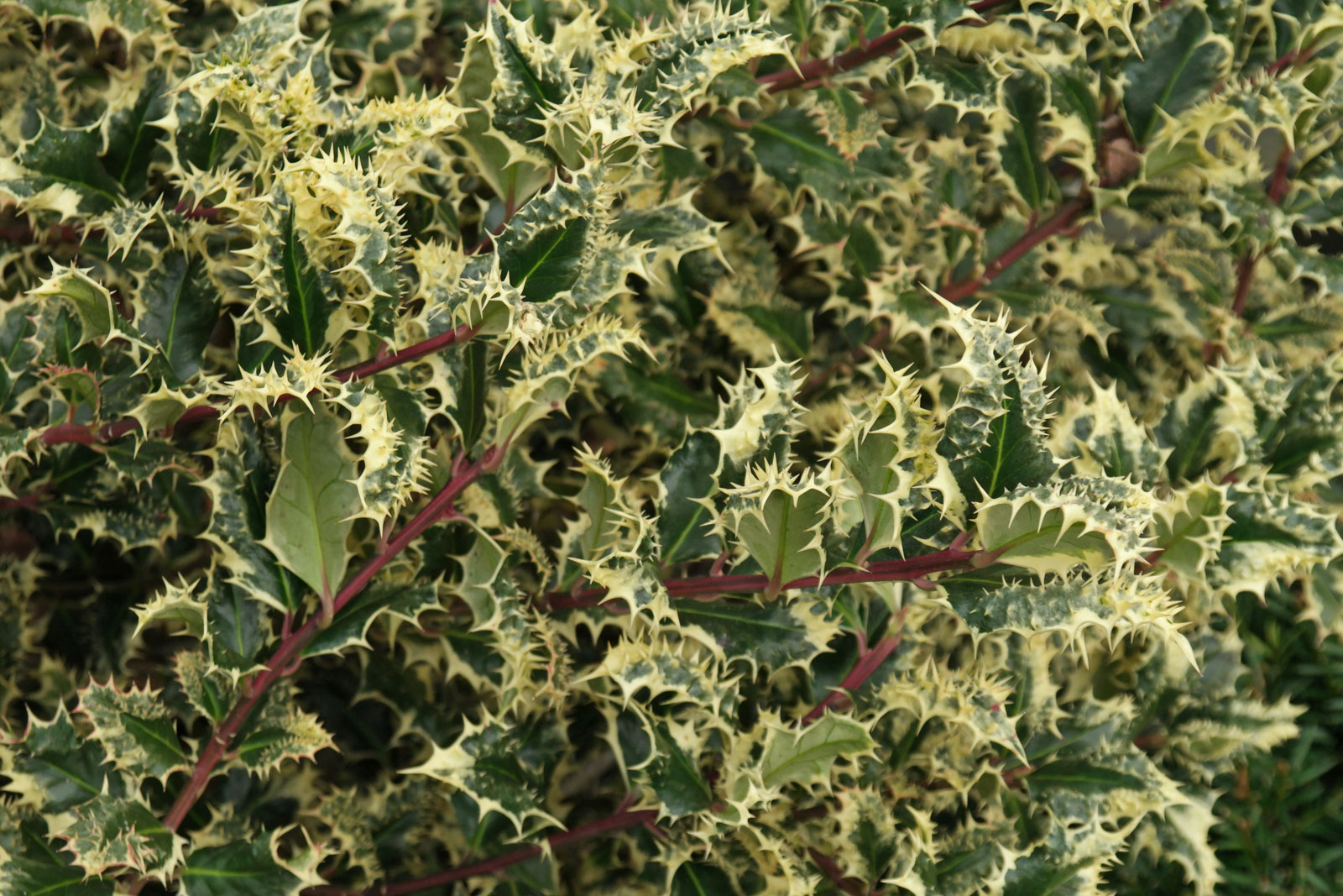 Ilex aquifolium Ferox Argentea