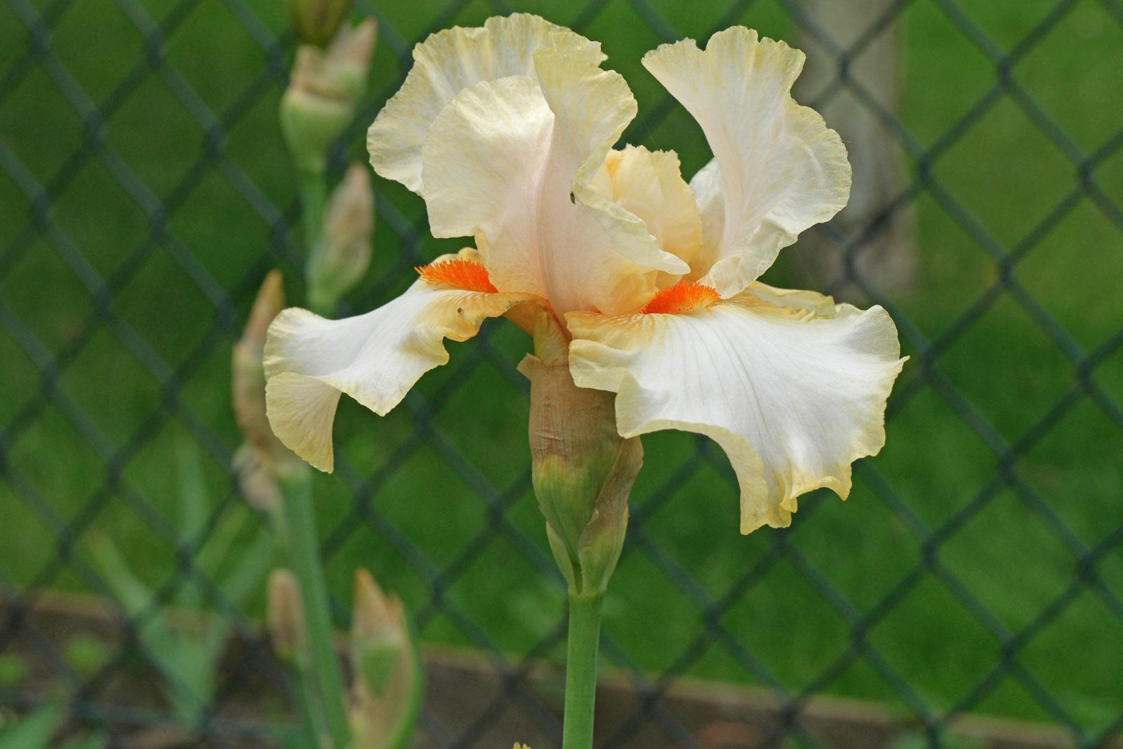 Iris barbata Burmese Dawn