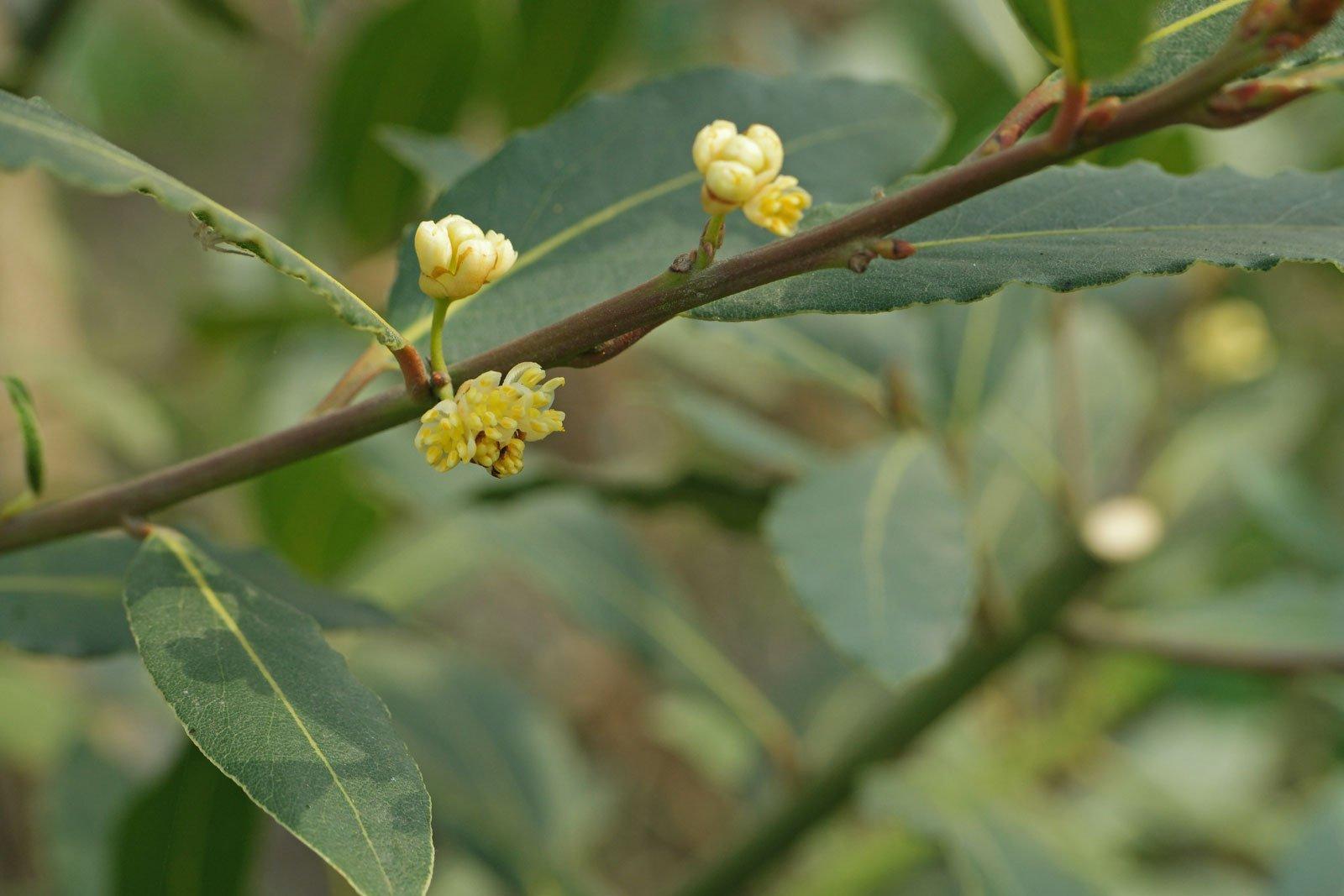 Laurus nobilis