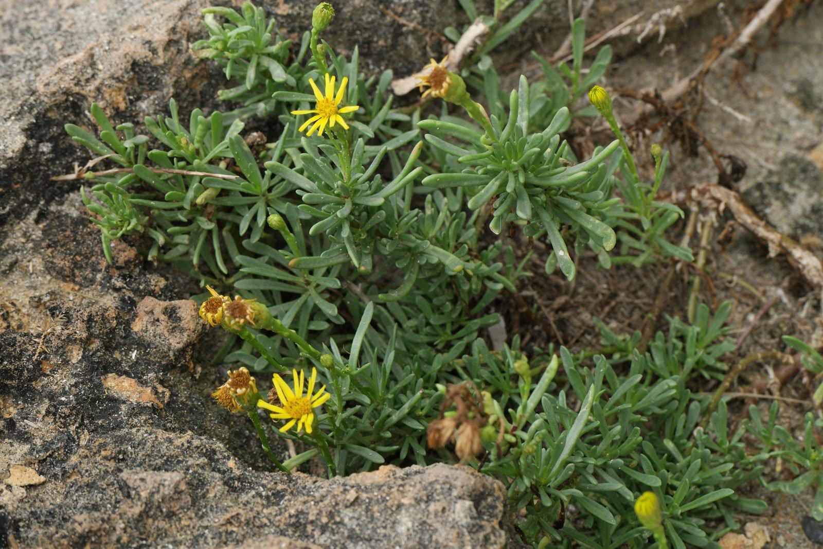 Limbarda crithmoides