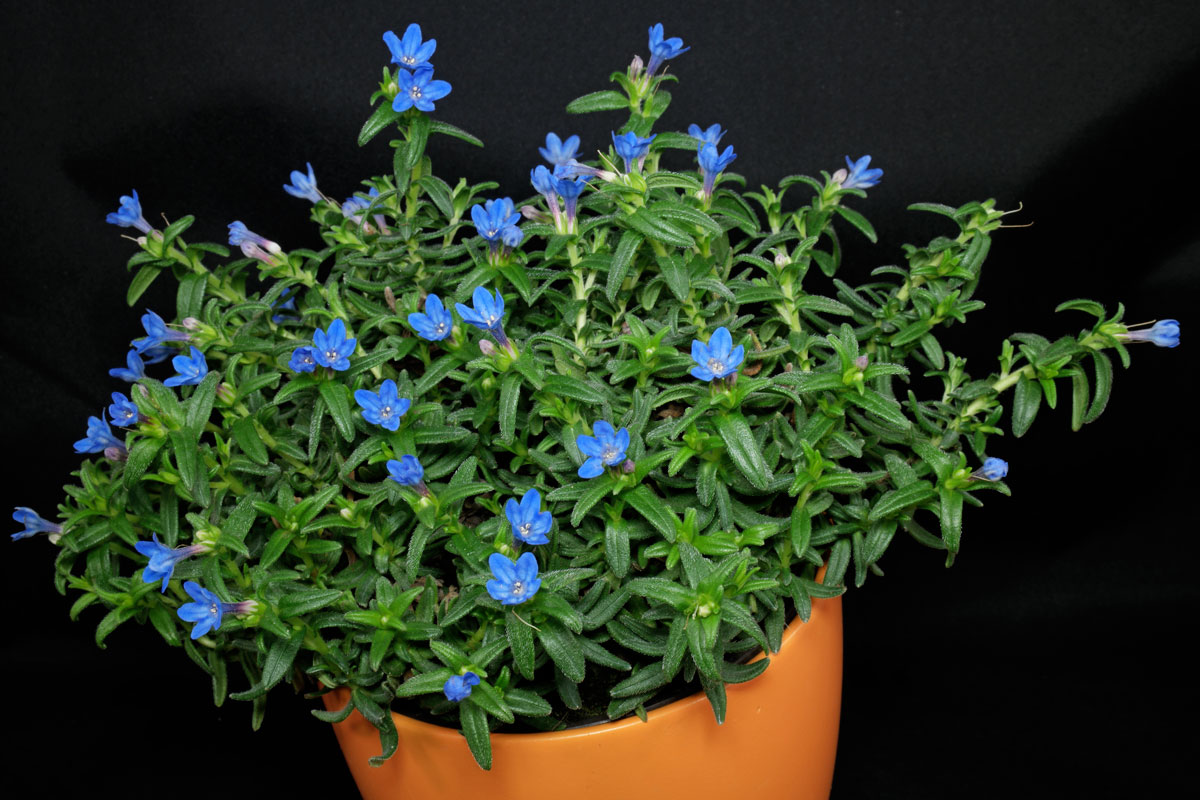 Lithodora diffusa