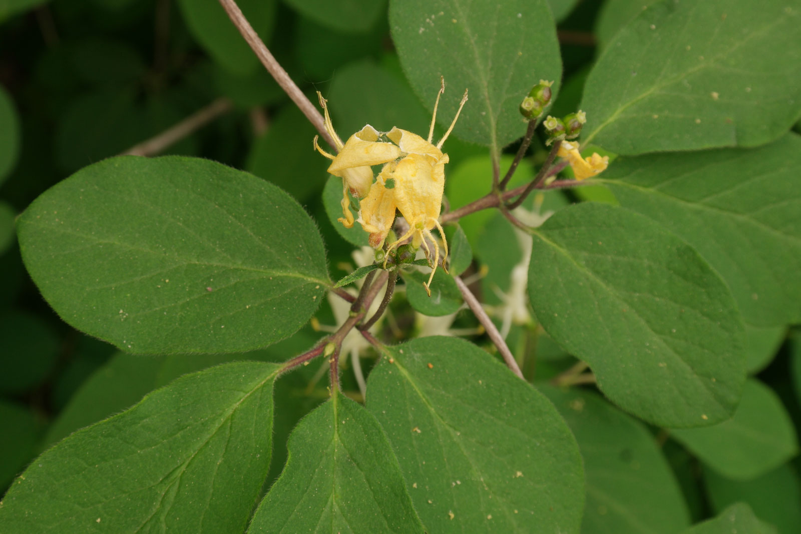 Lonicera xylosteum