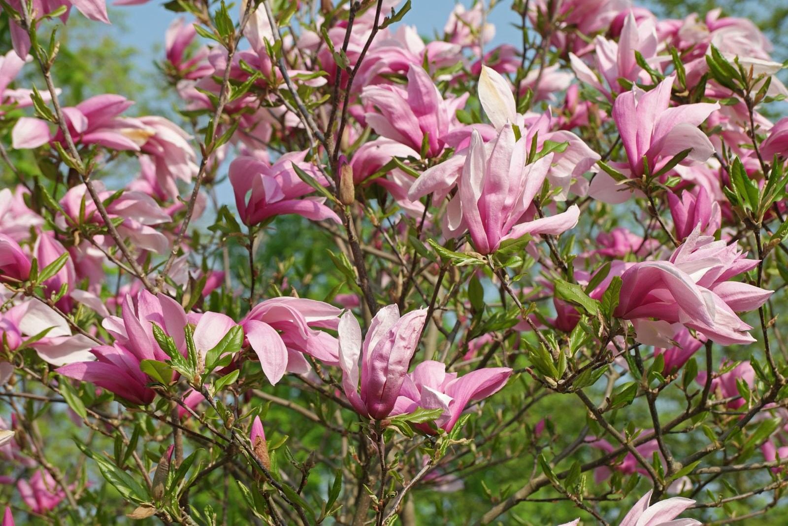 Magnolia liliiflora cv.