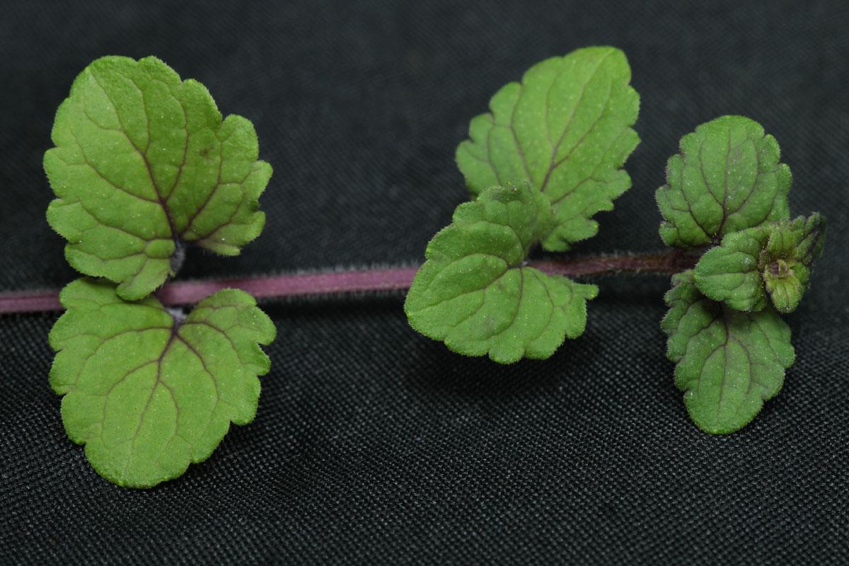 Micromeria douglasii