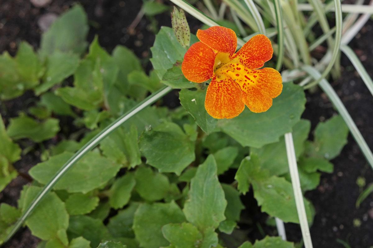 Mimulus Orange Glow