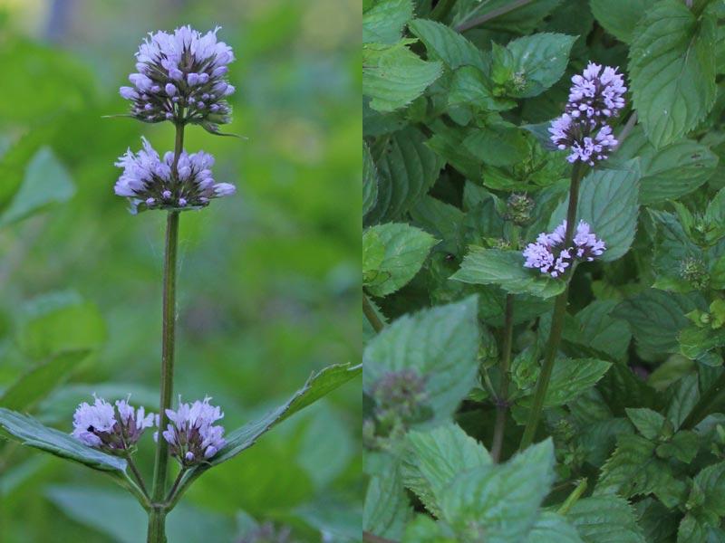Minze Blüten