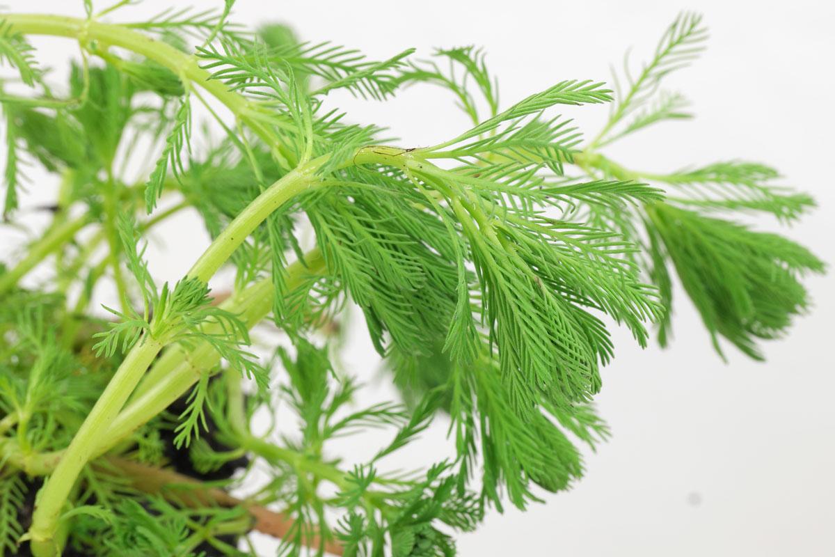 Myriophyllum aquaticum
