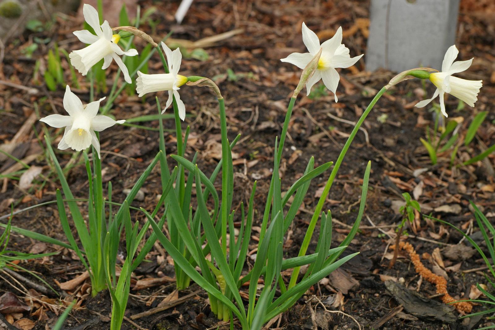 Narcissus Elka