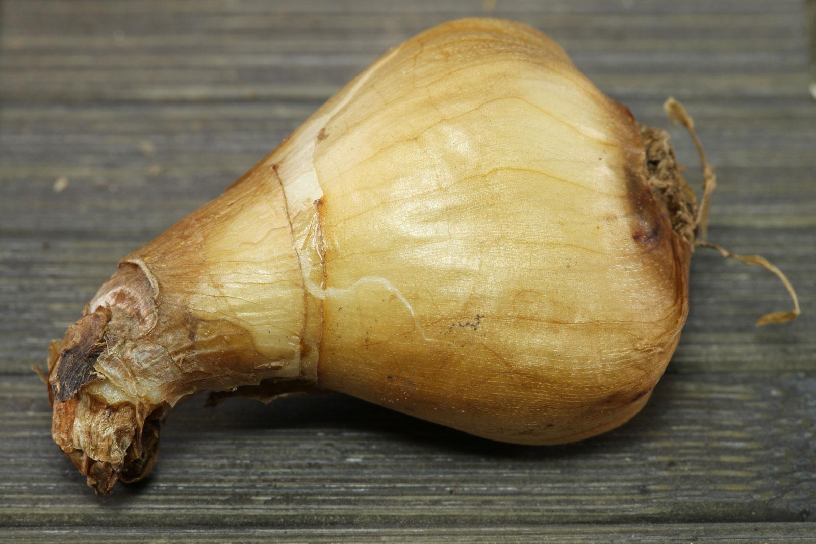 Narcissus minor Midget