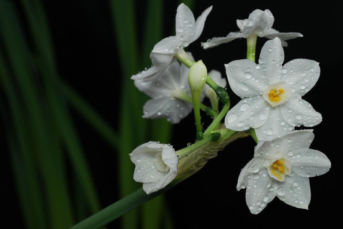 Narcissus papyraceus