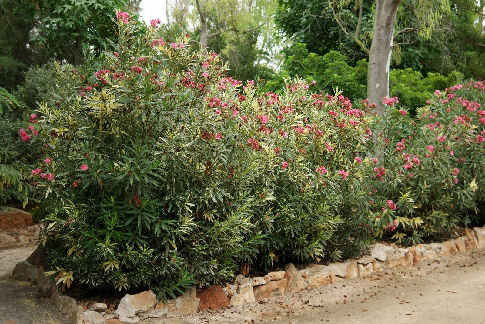 Nerium oleander Variegata
