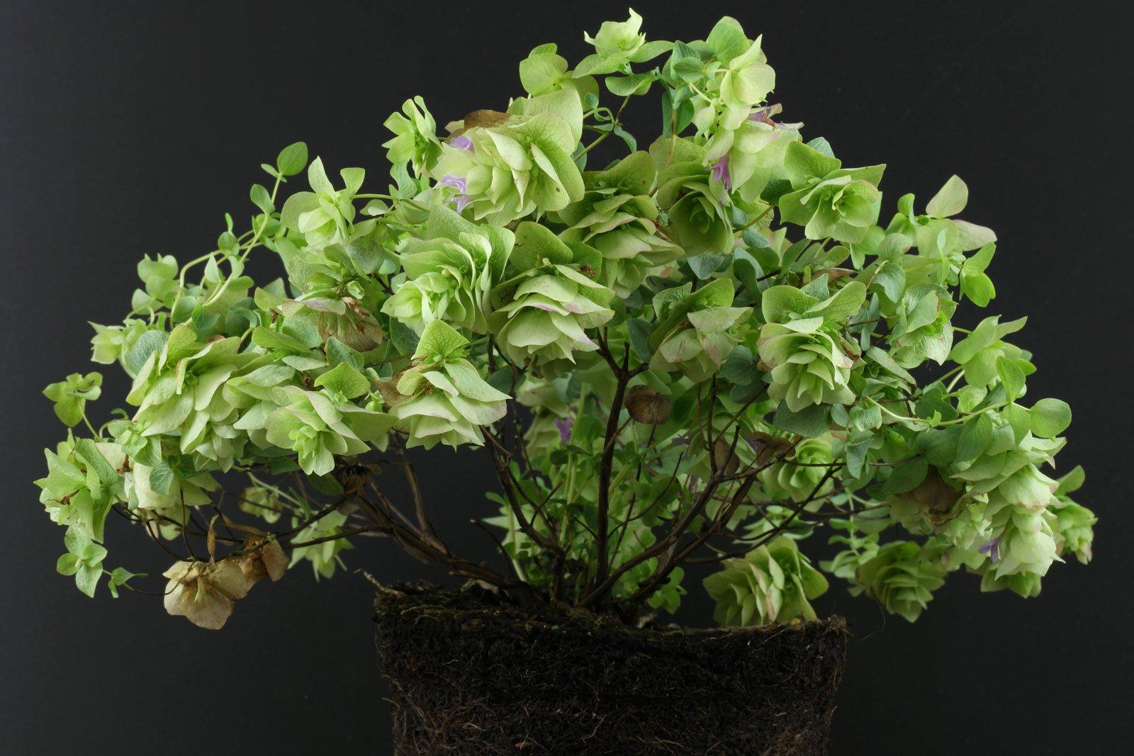 Origanum rotundifolium Kent Beauty