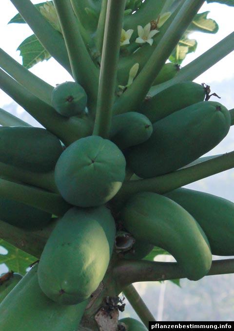 Papaya-Blüten