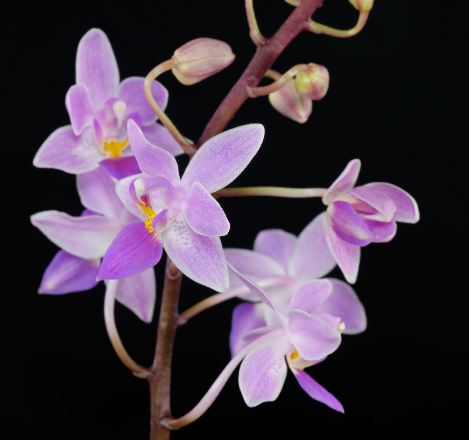 Phalaenopsis equestris