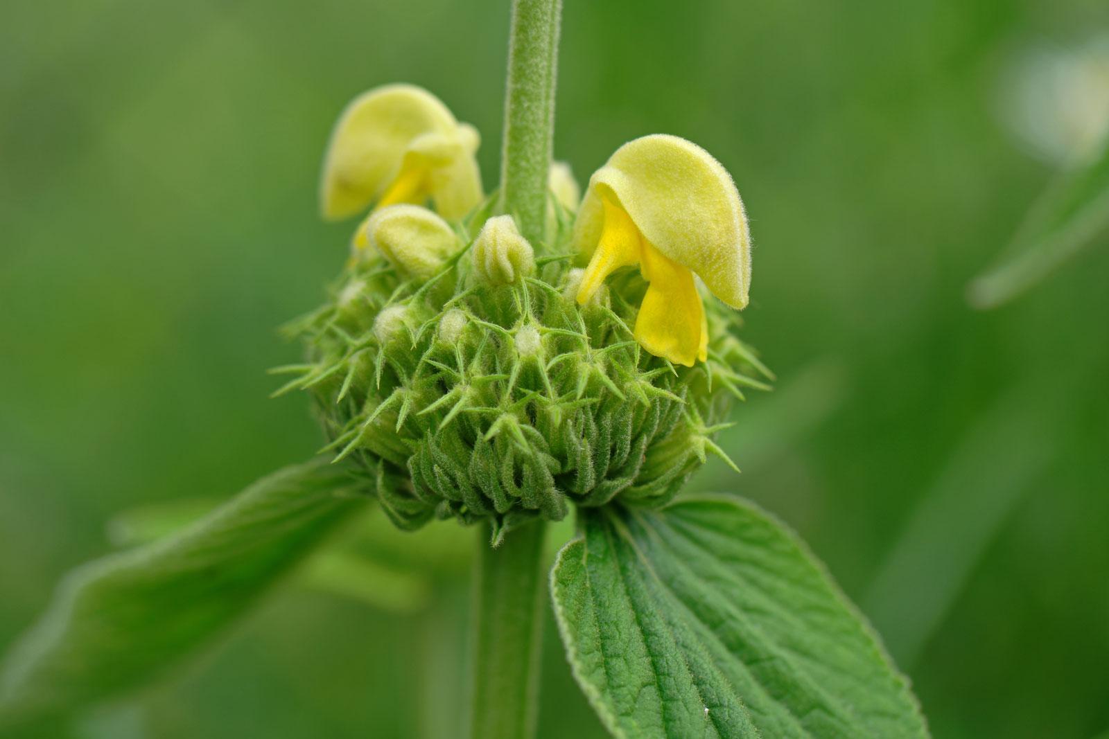 Phlomis russeliana
