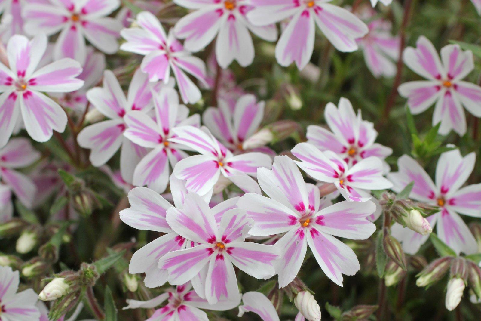 Phlox subulata cv.