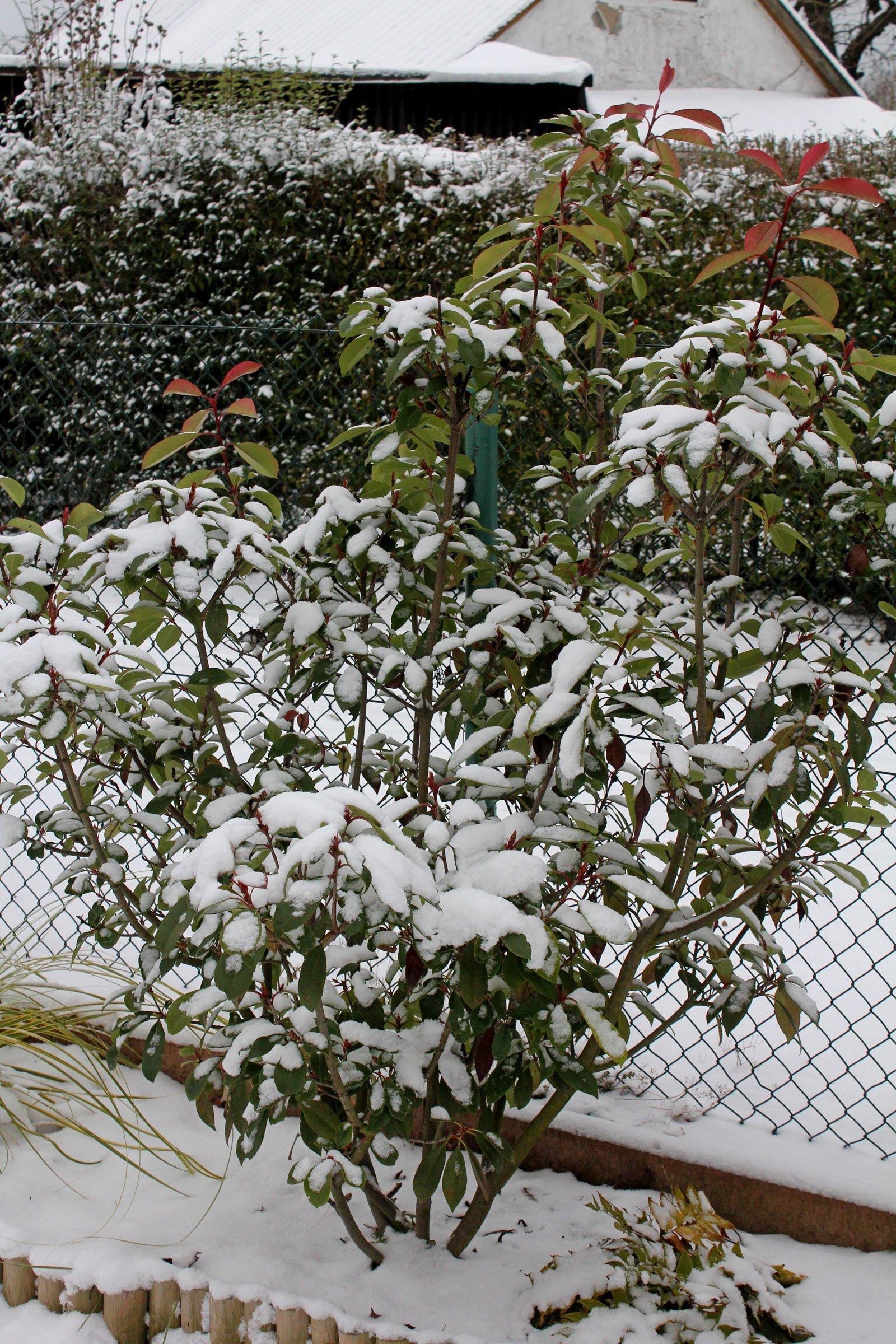 Photinia × fraseri