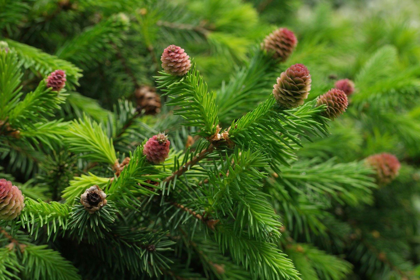 Picea abies Pusch