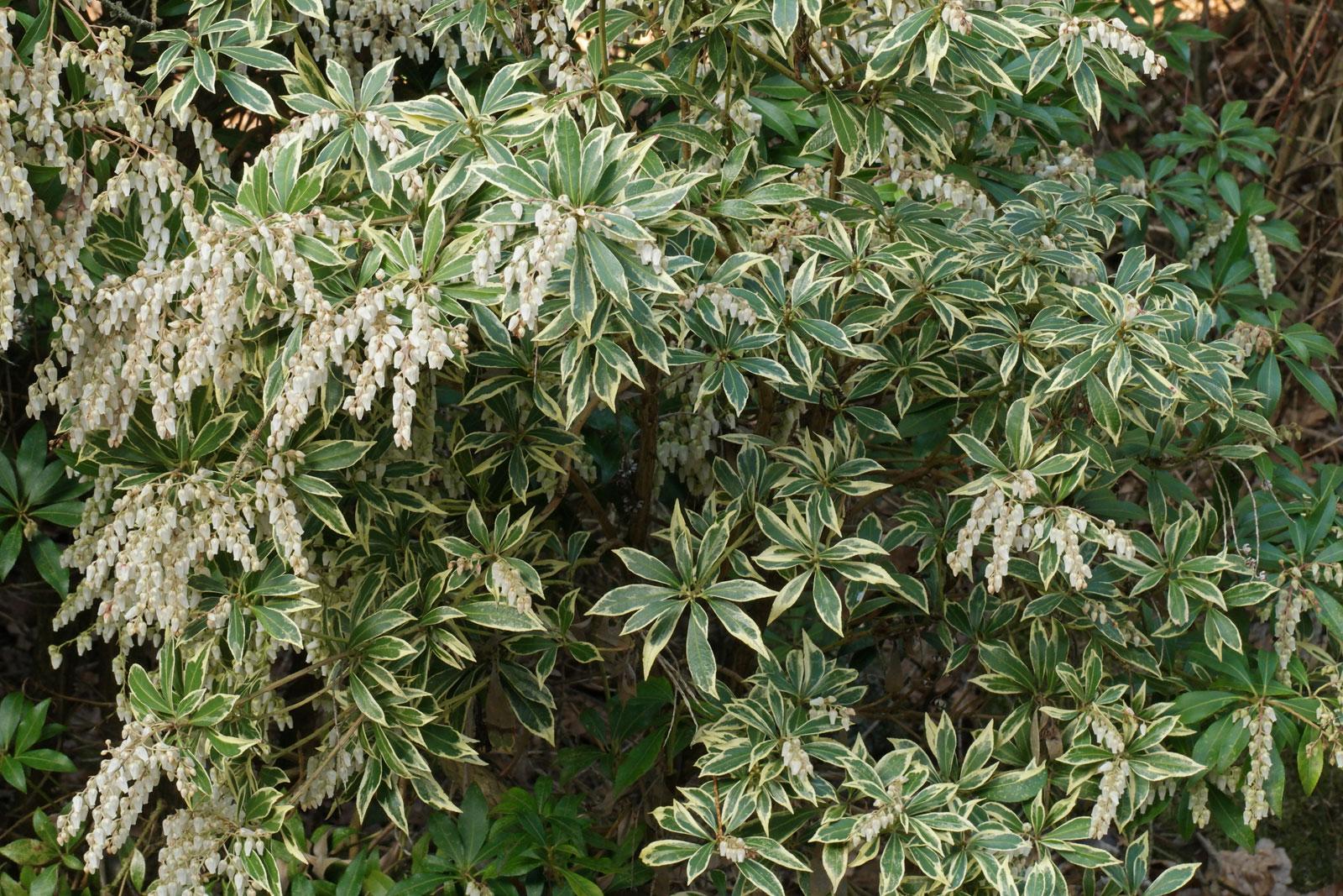 Pieris-japonica Variegata