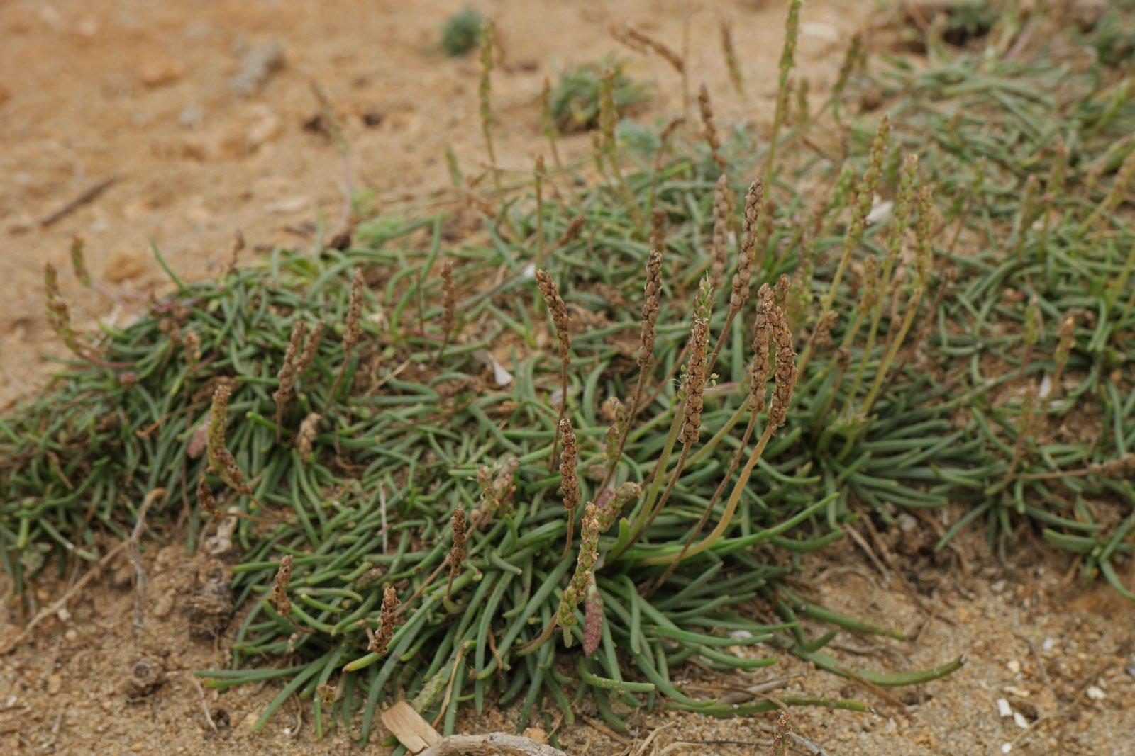 Plantago crassifolia