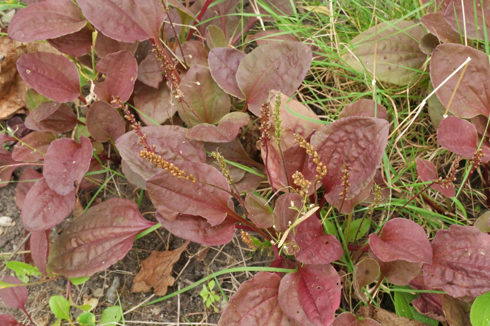 Plantago major Rubrifolia