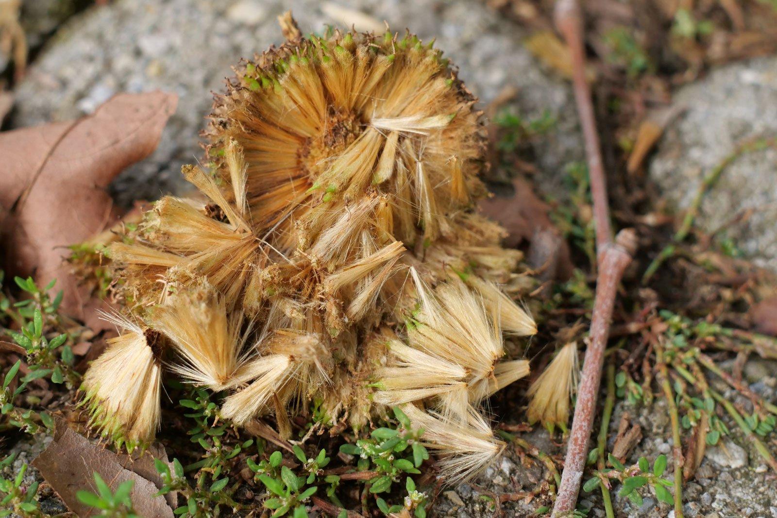 Platanus × hispanica
