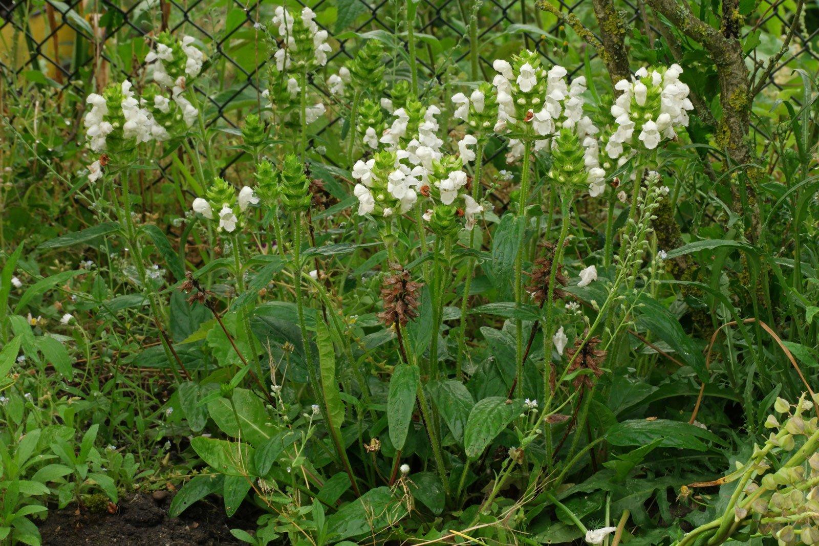 Prunella grandiflora Alba