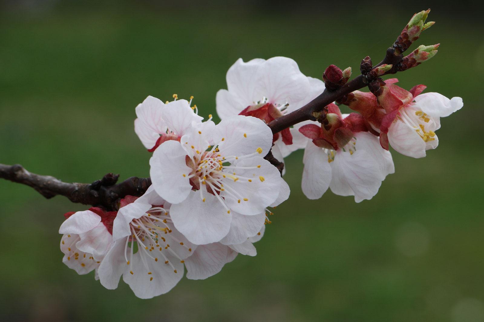 Prunus armeniaca cv.
