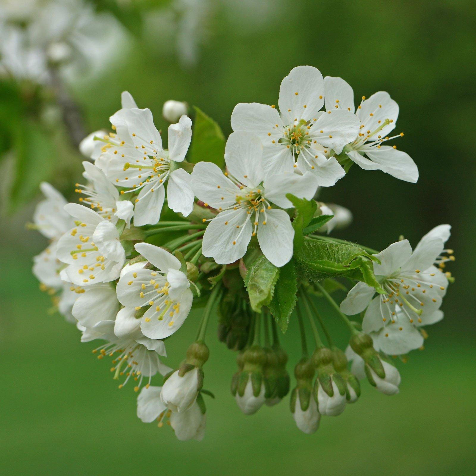 Prunus avium cv.