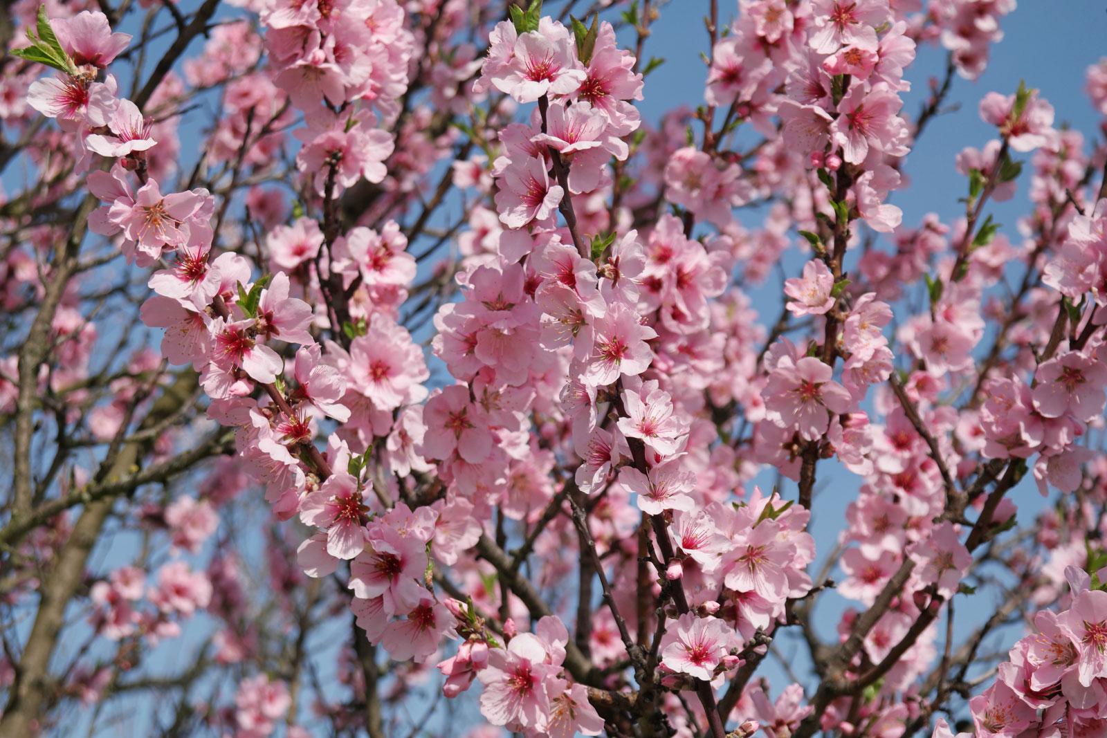 Prunus dulcis cv.