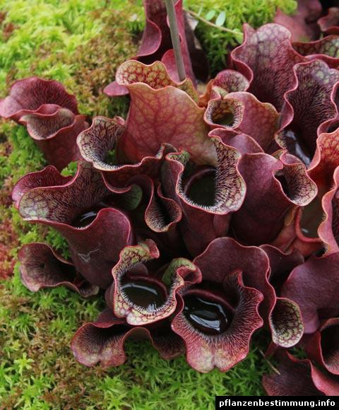 Rote Schlauchpflanze