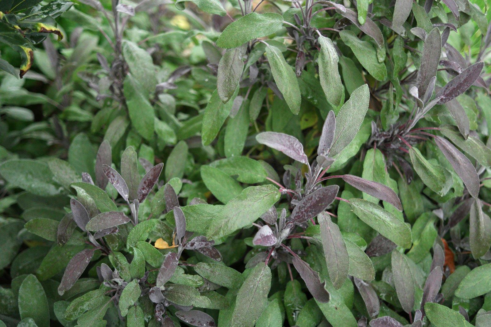 Salvia officinalis Purpurascens