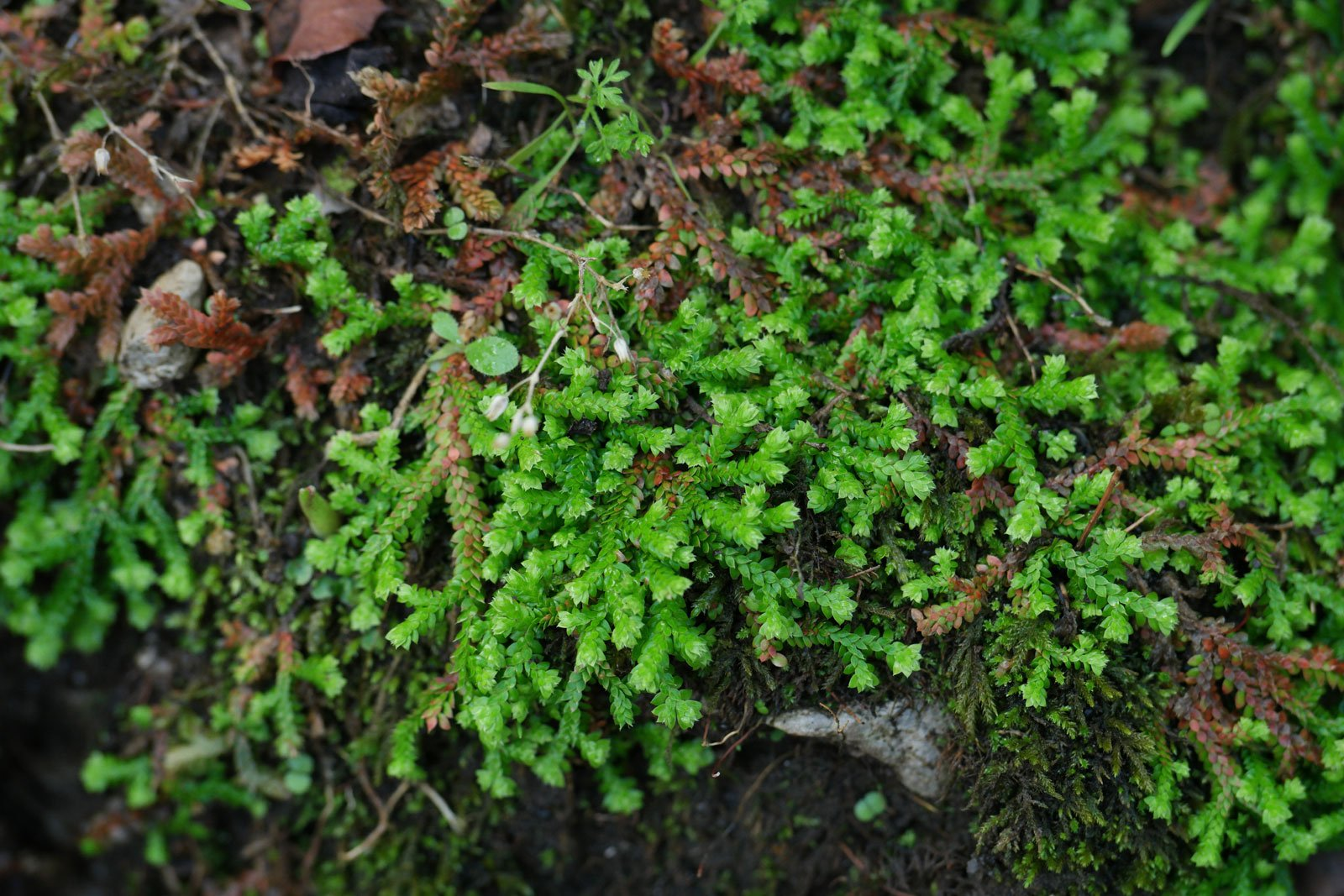 Selaginella denticulata