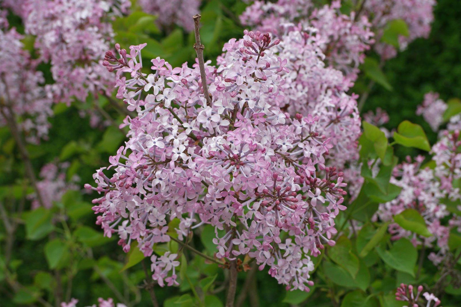 Syringa pubescens cv.