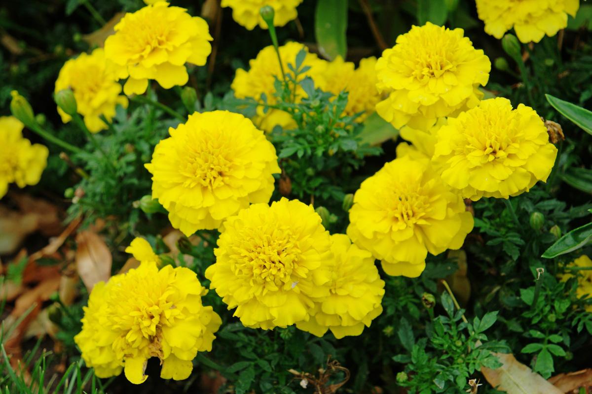 Tagetes patula Bonanza Yellow