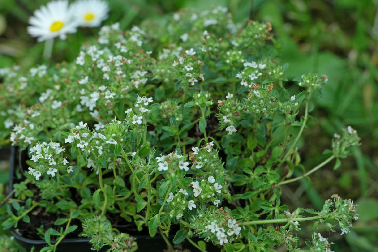 Thymus serpyllum Gregors Weiße